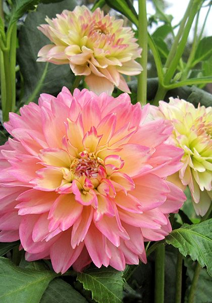 Rosemary Webb Waterlily Dahlia ...peony-like flowers that mature to apple-blossom pink  | Old House Gardens Heirloom Bulbs: Peony Like Flowers, Dahlia Flowers, 1956 Oldhousegardens Com, Flowers Dahlias, Apple Blossom Pink, Rosemary Webb, Webb Dahlia, Flow