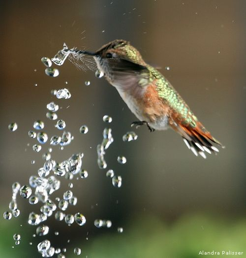 Rufous Hummingbird. awesome.: Animals, Humming Birds, Beautiful Birds, Photo, Water Droplets, Hummingbirds, Hummer