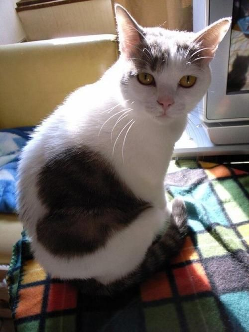 Sans the heart, this looks like my Gracie!  Her brown mark is round.: Cats, Kitty Cat, Kitten, Animals, Valentines, Pet, Fur, Big Heart