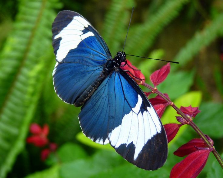 Sapho Longwing (Heliconius sapho), by J. Staake: Beautiful Butterflies, Longwing Butterfly, Moths Butterflys Dragonflys, Blue Color, Butterfly Moth, Photo