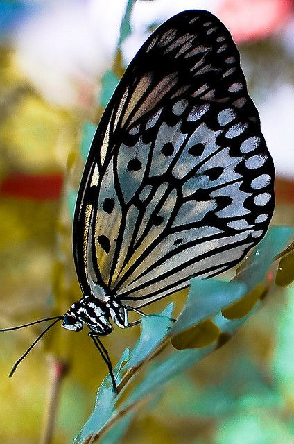 Silver & Black Butterfly: Beautiful Butterflies, 028 Butterfly, Photo Sharing, Butterflies Mariposas, Flutterby