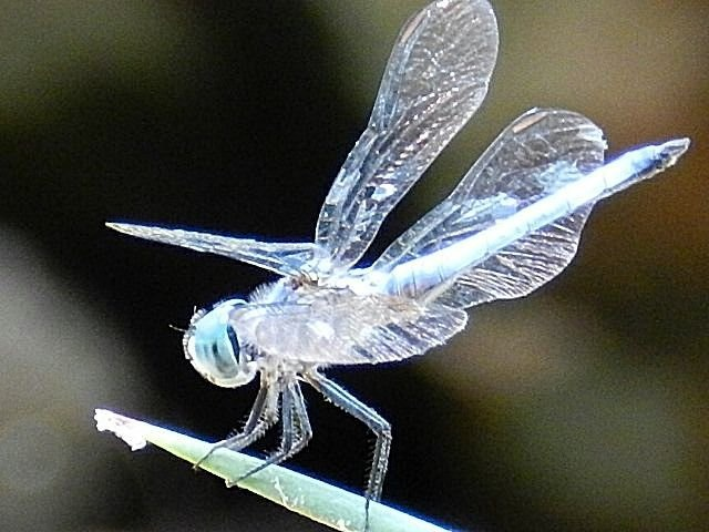 Silver dragonfly: Wings, Dragonfly S, Beautiful, Ladybugs, Silver Dragonfly, Dragonflies