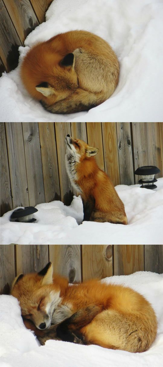 Sleepy Fox:  I've always wanted a pet fox!  Maybe my boyfriend Chris will let me get one :): Foxes Animals, Foxes 3, Cute Fox, Pet Fox, Red Fox, Foxy Foxes