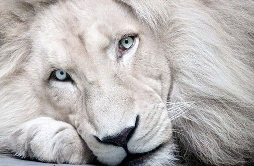 So majestic and beautiful - I want a lion. Big cats are amazing.: White Lions, Big Cats, Animals, Nature, Bigcats, Beautiful, Creatures, Whitelions, Eye