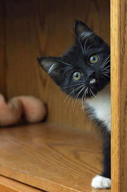 SosiePeeking46LowRes: Kitty Cats, Animals, Tuxedo Kitten, Pet, Kitty Kitty, Troy Snow, Photo, Peek A Boo