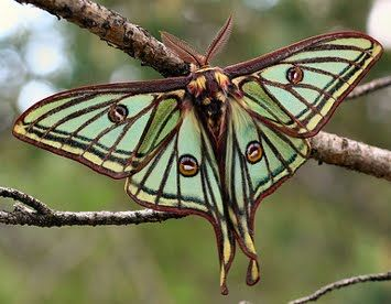 Spanish Moon Moth, native to Spain and France; ...they are huge - their wingspan can be 2.5 inches to almost 4 inches wide!;  males have much longer 'tails': Butterfly, Moon Moth, Luna Moth, Nature, Butterflies, Spanish Moon, Animal