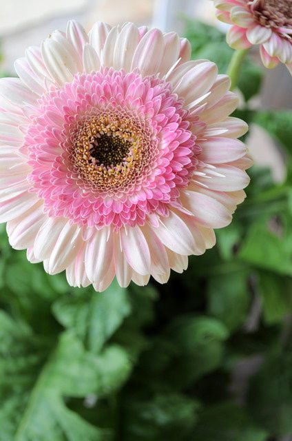 """STRAWBERRY LOLLIPOP GERBERA DAISY: 1) Perennial in zones 8-11 otherwise an annual 2) 18"""" flower stalks 3) full sun 4) Attracts butterflies & hummingbirds 5) Use in containers or cottage gardens: Gerber Daisies, Gerbera Daisies, Gerbera Daisy, Gerb"""