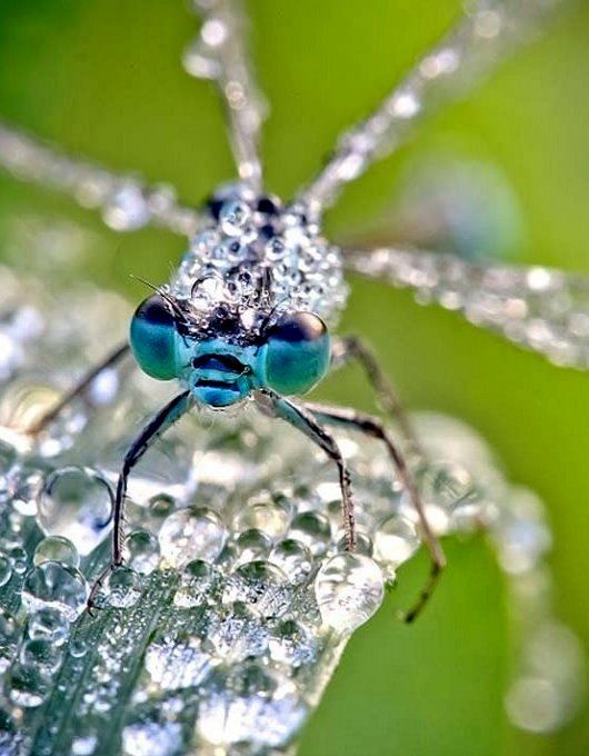 Stunning Macro Photographs of Insect Glowing in the Morning Dew | David Chambon photography: Macros, Morning Dew, David Chambon, Insects, Dragonfly, Photography, Dragonflies, Animal
