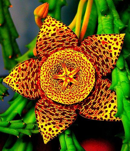 Symmetrical, organic, fiery, elated, elaborate pattern,energetic and intense.: Corpse Flower, Carrion Flower, Amazing Flower, Exotic Plants Unusual Flowers, Flowers Plants, Beautiful Flowers, Exotic Flowers, Garden