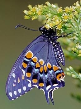The 'butterfly effect' has now been seen at the quantum level  -- Millard H. Sharp / Science Photo Library: Beautiful Butterflies, Beautiful Blue, Blue Butterfly, Purple Butterfly, Nature News, Butterfly Effect