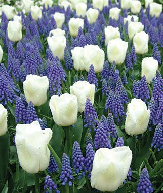 The combination of white tulips and blue muscari is often found in the world's best botanical gardens: Grape Hyacinth, Field, Idea, Flowering Bulbs, Green, Color Combination, Favorite Flower