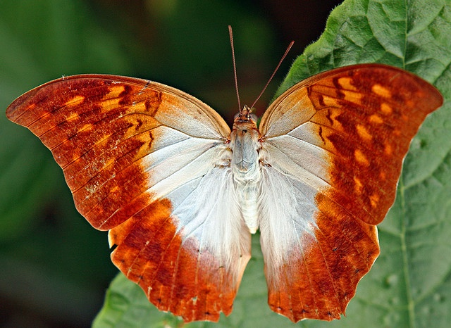 The Karkloof Emperor or Pearl Emperor (Charaxes varanes) is a butterfly of the family Nymphalidae, found in Africa from Saudi Arabia to South Africa - Jeanette Haygood.: Butterflies Dragonflies, Beautiful Butterflies, Butterflies Moths Dragonflies, Rusty