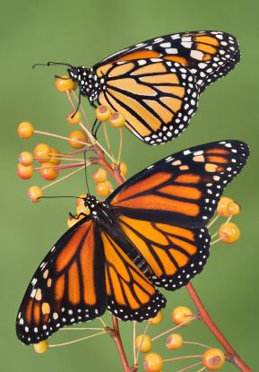 The Monarch...  They represent a new transformed life...  They also represent the souls of the dead...: Beautiful Butterflies, Monarch Butterfly, Butterflies Migration, Beautiful Monarch, Monarch Butterflies, Animal