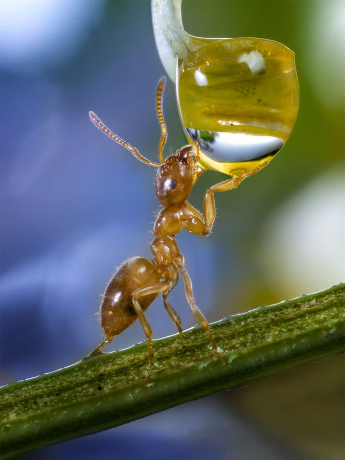 The Refreshment by Wolfgang Korazija on 500px: Animals, Nature, Ants, Insects, Photo