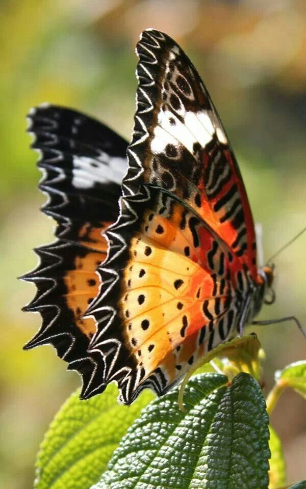 There never is an end to all the color commnations that The Great and Mighty  God Uses in His Creations...Helen: Butterfly, Butterflies, Beautiful, Flutter, Flower, Animal
