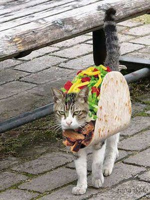 This cat looks flaming MAD about wearing a taco costume! HA!!: Halloween Costume, Cats, Animals, Tacos, Taco Cat, Tacocat, Funny, Funnies