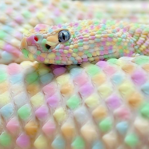 This guy was on the same page... HOW GORGEOUS. he is precious. aw i wanna kiss his widdol faysch !: Animals, Nature, Colors, Beautiful, Things, Reptile, Snakes, Rainbow, Pastel Snake