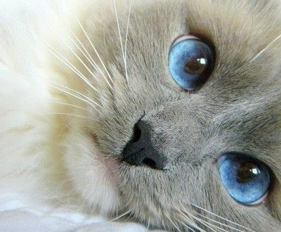 this has got to be a Birman with those deep blue eyes and sweet face <3: Cats, Kitty Cat, Animals, Kitten, Blueeyes, Beautiful Blue, Pet, Blue Eyes, Kitty Kitty