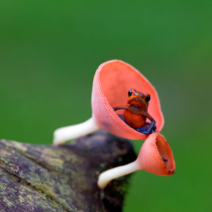 This tiny frog is also known as the strawberry poison arrow frog. The adults are between 2 and 2.5 cm long (3/4-1 inch). The males are very territorial and patrol it defending it from other mating or calling males, non-breeding males, and of course female