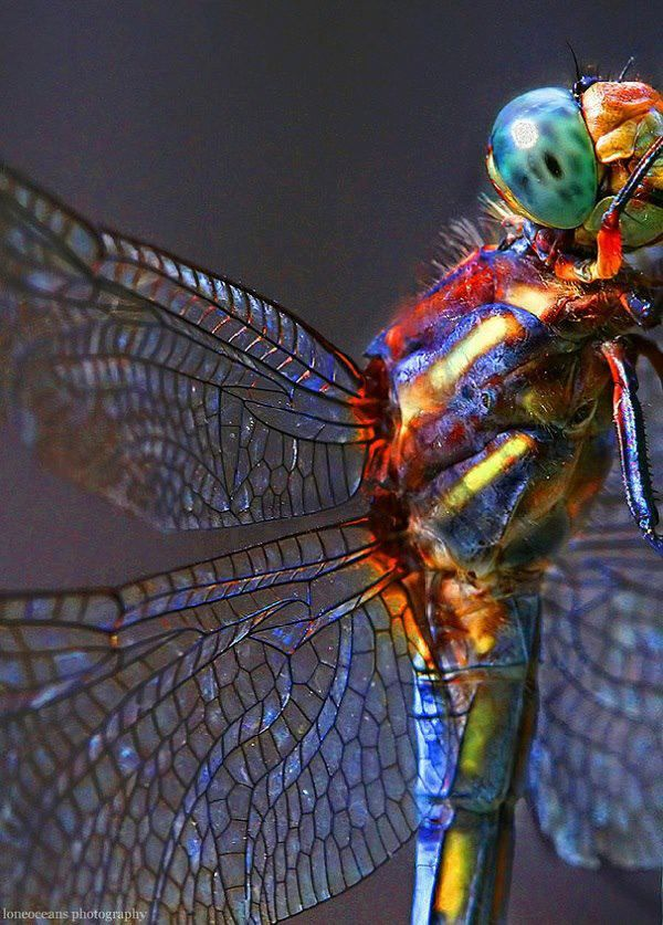Those wings look like stained/ leaded glass. Dragonfly by Gao Guangyan: Dragon Flies, Nature, Color, Dragonfly, Animal, Dragonflies