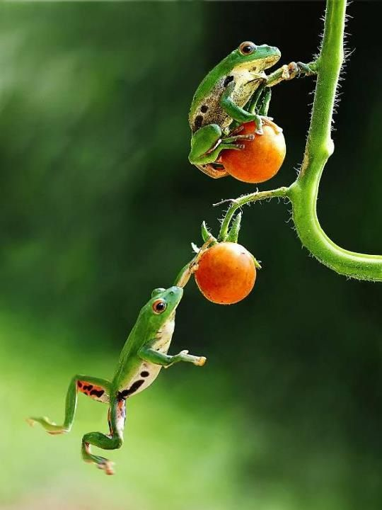Tomato jumping frogs? So this is an amphibious sport? Who knew?: Frogs Tomato, Garden Frogs, Frog, Jumping Frogs, Tomato Jumping, Animal