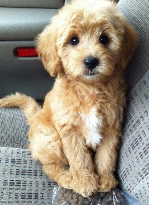 Top 5 Dogs That Are Ideal For Small Apartments THIS DOG IS SO CUTE!: Doggie, Puppies, Animals, Dogs, Pet, Puppys, Box, Goldendoodle, Golden Doodles