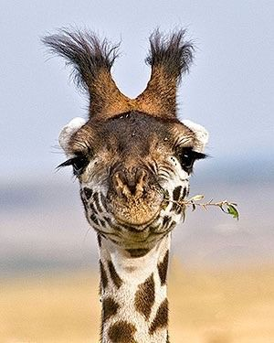 versaversa: Bad Hair Day: Photography African, Animal Kingdom, Wildlife Photography, Kingdom Wildlife, African Maasai, Giraffes