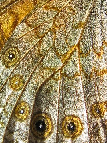 """We delight in the beauty of the butterfly, but rarely admit the changes it has gone through to achieve that beauty.""   ― Maya Angelou: Butterfly, Color, Textures Patterns, Butterfly Wings, Gold Butterfly Wing Jpg, Blooms Patterns Textures, Natures Beauty"