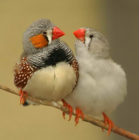 We have a ton of these little guys in the aviaries at work... they are ridiculously cute and very sassy!: Animals, Nature, Australian Finches, Pet, Birdie, Beautiful Birds, Zebras