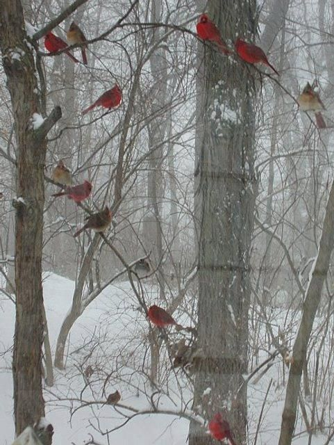 we often see two or three pair of cardinals in and around our yard.  Their song is beautiful as they lift there joy to the heavens!: Nature, Winter Wonderland, Snow, Winter Cardinals, Beautiful Birds, Winter Birds, Photo, Red Birds