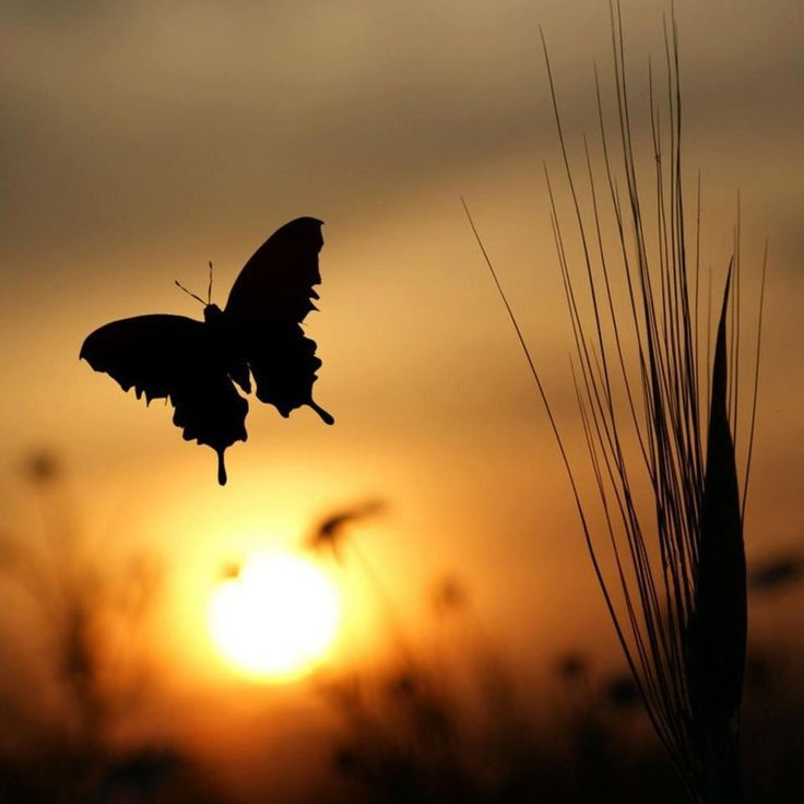 ♥ when you see a butterfly think of me <3  we always believe butterflies are the angelic representation of our mothers and bailey (our dog).: Photos, Butterflies, Sunsets, Beautiful, Sunrise Sunset, Silhouettes, Butterfly Sunset, Photography, Animal