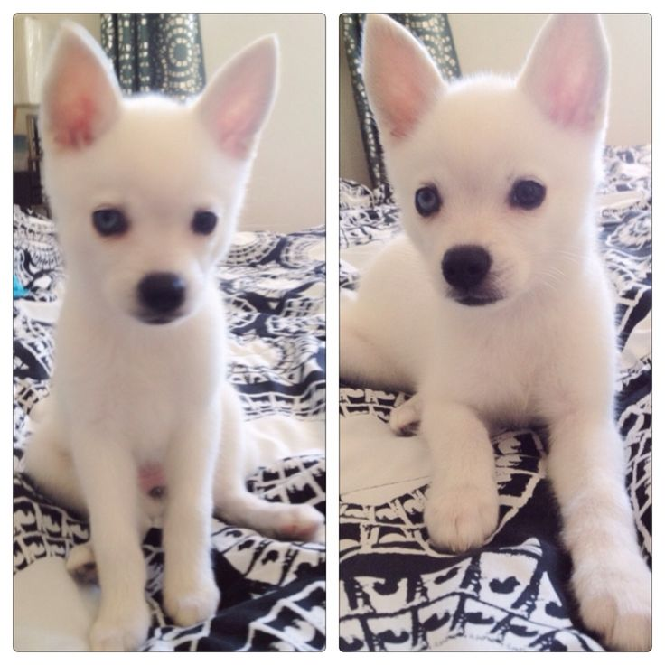 White Alaskan Klee Kai. Who wants to buy me this dog: Cuties, Dogs Dogs, Alaskan Klee Kai, Favorite Doggies, Hundar Dogs, Northern Dogs, Buy, Future Doggie, Dr. Who