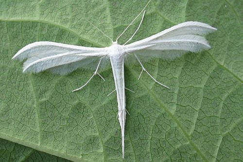 White Plumed Moth, has the shape of a dragonfly and wings like feathers (British): Plumed Moth, Nature, White Plumed, Dragonfly, Insects, Photo, Dragonflies