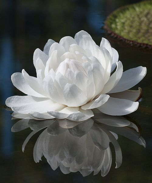 Without guilt, blame, or condemnation, take full responsibility for where you are now. Because the moment you do, is the moment you are empowered to move forward, creating the life you are here to live.   ~Dean Jackson: White Lotus, Waterlilies, Beautiful
