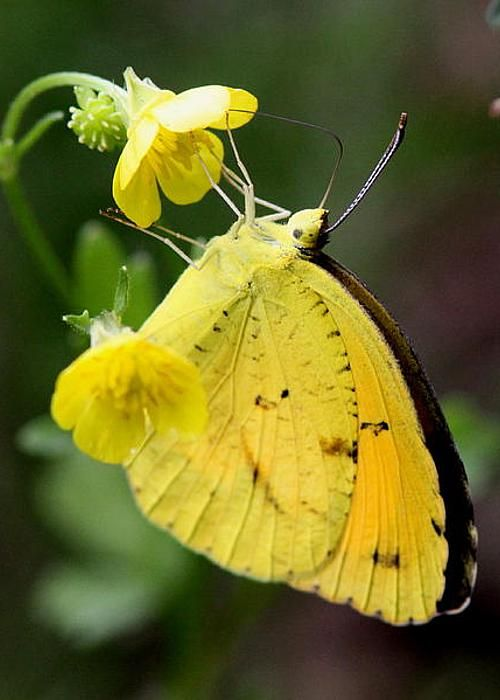 Yellow Sulphur Butterfly ~ Photography by Travis Truelove: Butterfly, Yellow Sulphur, Travistruelove, Butterflies, Card, Sulphur Butterfly