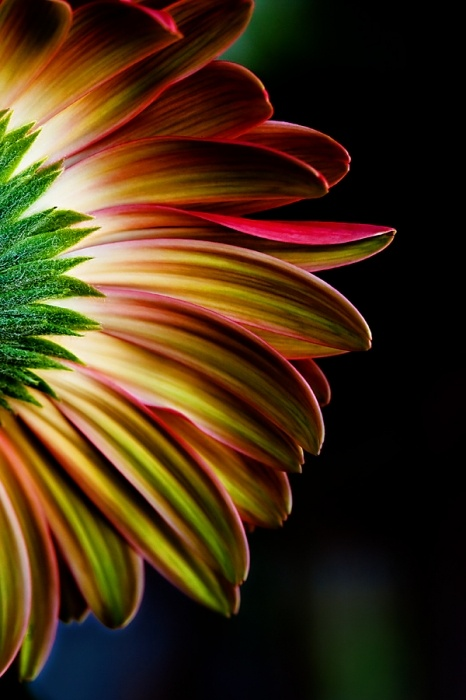 You rarely see pics of the back of a flower. Cool! By: Carolyn Gallo using macro photography. Daisy: Picture, Macro Photography, Color, Art, Sunflower, Beautiful Flowers, Beauty, Flowers, Garden