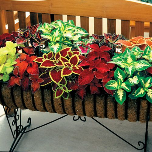 """Wizard Mix"" coleus seeds from Park Seed. Compact variety in a good color range.: Favorite Plant, Mix Coleus, Shade Plant, Color, Wizard Mix, Coleus Wizard, Coleus Plants, Coleus Seeds, Container Gardening"