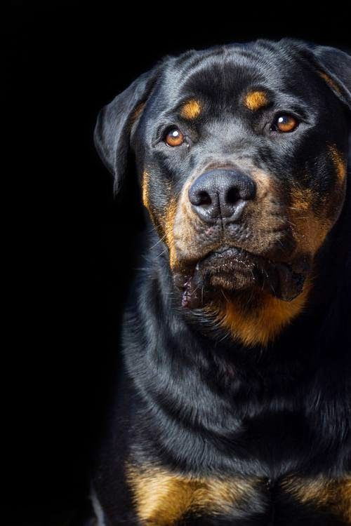 5 Dog Breeds For Single Women  Rottweilers are great family watch dogs and one of the best companions for single women. They are intelligent, loyal, obedient and strong fellows. They are big, up to about 130 pounds, so not everyone is able to handle a dog