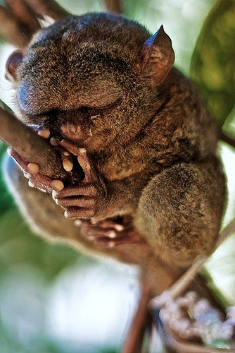A Tarsier up close. Looks a bit like a gremlin, a troll or the funny/cute/slightly scary character on the front of 'Where the Wild Things Are'.: God S Creatures, Animal Kingdom, Wild Animals, Sleeping Tarsier, Endangered Philippine, Amazing Animal