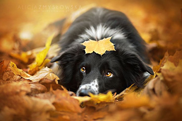 Alicja Zmyslowska is a pet photographer based in Poland that takes incredibly vibrant and lively portraits of dogs for a living. Talk about a dream job!: Photos, Border Collies, Animals, Dogs, Autumn, Pet, Dog Portraits, Alice Zmysłowska, Photography