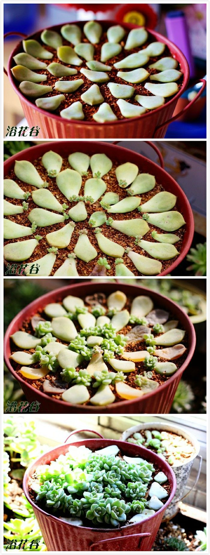 all about what and how to grow: Succulents Garden, Propagating Succulent, Growing Succulent, Succulant Garden, Grow Succulent, Propagate Succulent