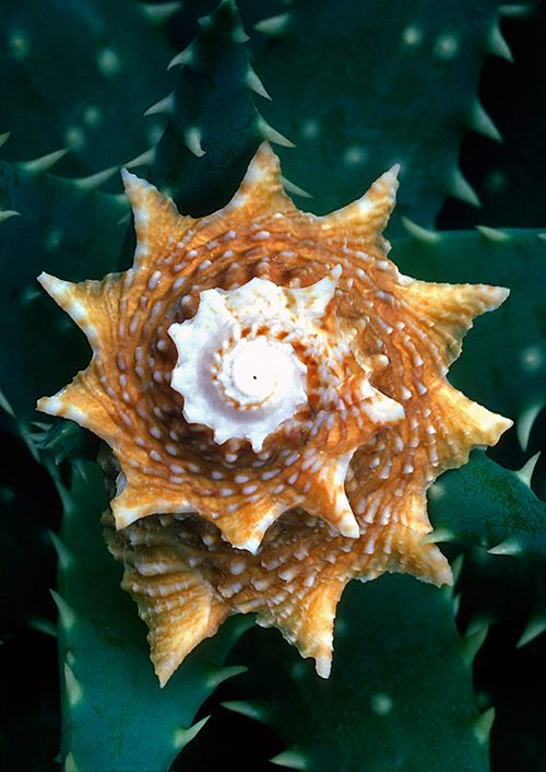 And someone wants to tell me this is by chance?  Not buying it....there IS a Master Designer.: Beautiful Examples, Sea Shells, Beach Seashells, Seashore, Seashell Photography, Fibonacci Spiral
