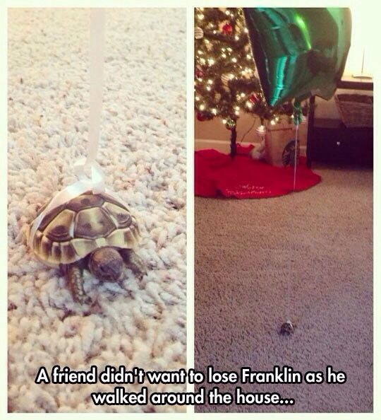 Awww HAHA this is adorable!!!! ---- the best part is the turtle's name is Franklin ^_^ Comment if you get it! :D: Tortoise, Animals, So Cute, Pet, Funny, Turtles, Balloon