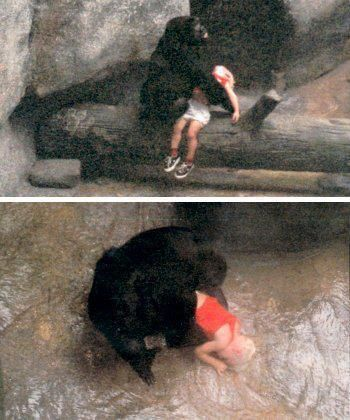 Binti Jua,the gorilla who saved a 3 yr old boy that climbed the wall around her zoo enclosure  fell 18 feet onto concrete below,rendering him unconscious with a broken hand  a vicious gash on the side of his face.Binti walked to the boy while helpless spe