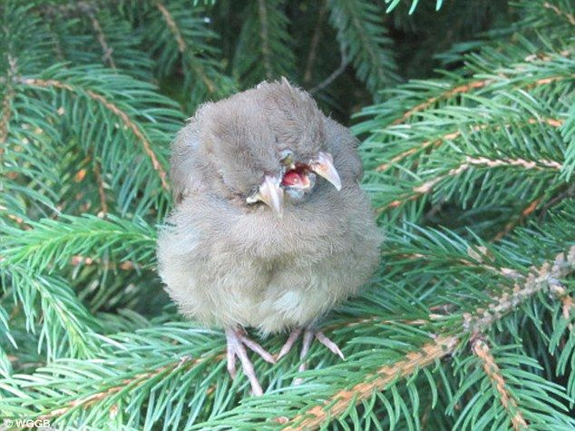 Bizarre: April Britt found this baby female Cardinal with two heads and three beaks perched on a branch in her backyard in Northampton, MASS: Babies, Oddities, Twin Baby, Siamese Twin, Animals Birds, Backyard