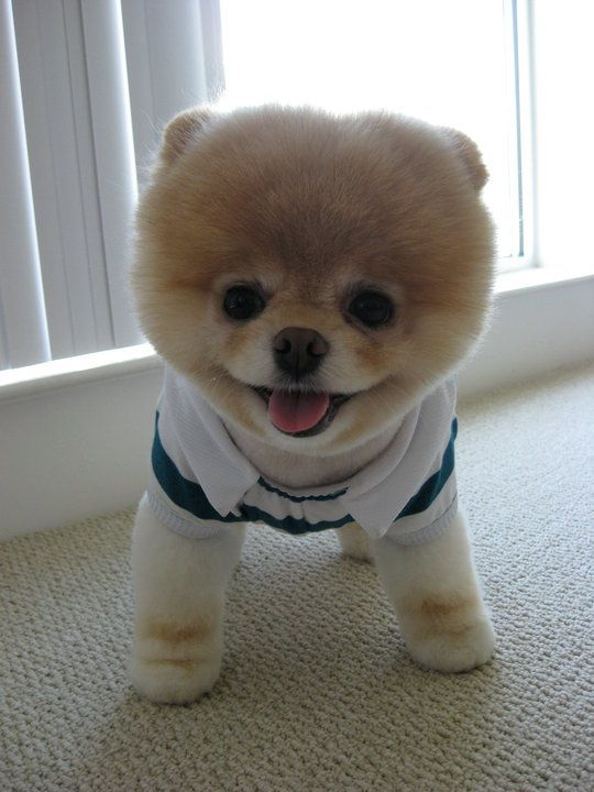 Boo, The Cutest Dog On The Planet... Boo!!!: Animals, Boo, Cutest Dogs, Pets, Funny, Puppy, Things, Cute Dogs