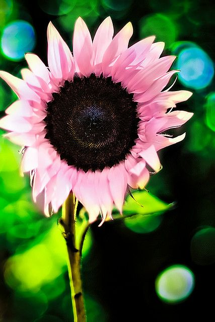 Can I please have an endless supply of these? It would make me the happiest girl alive: Pinksunflower, Pink Flowers, Outdoor, Sun Flower, Beautiful Flowers, Pretty Flowers, Gardening, Pink Sunflowers