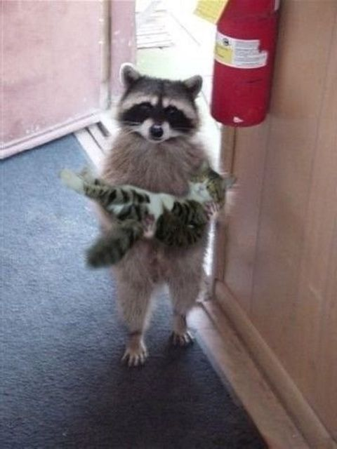 Did you loose a kitten? Because I founds him.: Cats, Animals, Kitten, Stuff, Pet, Raccoons, Funny Animal, Things