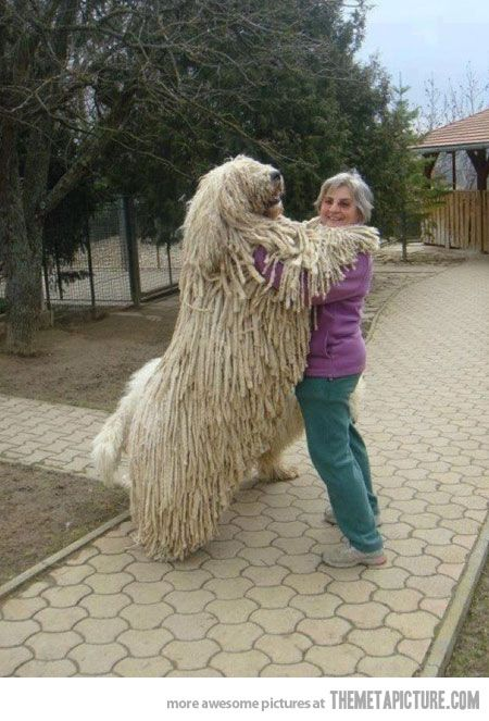 dog toys for big dogs | 25 August, 2012 in Funny , Pictures | Comment: Animals, Mop Dog, Pets, Funny, Friend, Big Dogs