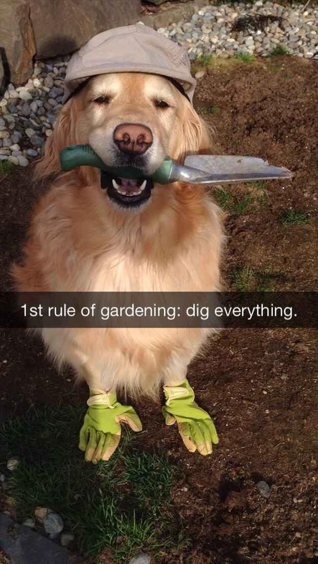 Dump A Day Funny Animal Pictures Of The Day - 25 Pics: Funny Animals, 32 Pics, Funny Golden Retriever, Dogs, Golden Retrievers, 1St Rule, Pet Owner, Dog Snapchat